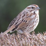 Song Sparrow by Heidi